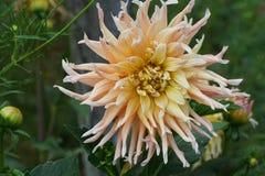 Конец-вверх цветка желт-сливк cultiva георгина георгина стоковые изображения rf
