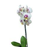 Конец-вверх цветка орхидеи изолированный на белизне Стоковое Фото