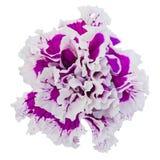 Конец-вверх цветка петуньи Стоковые Изображения