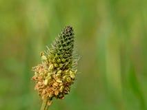 Конец-вверх цветка подорожника ribwort - lanceolata Plantago Стоковые Изображения