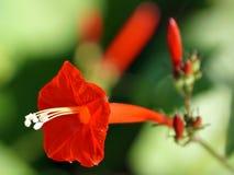 Конец-вверх цветка славы звезды красного цвета Стоковые Фотографии RF