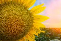 Конец-вверх цветка солнцецвета Стоковое фото RF