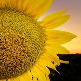 Конец-вверх цветка солнцецвета Стоковое Изображение