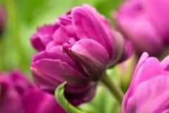 Конец-вверх цветка тюльпана Стоковое Изображение RF