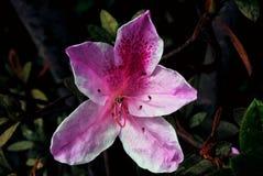 Конец-вверх цветка azaleia стоковое изображение