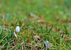 Конец-вверх цветка Snowdrop Стоковое Изображение RF