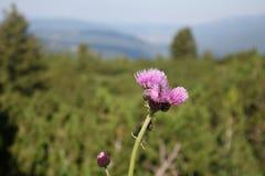 Конец вверх цветка Thistle, горы Rila стоковая фотография rf