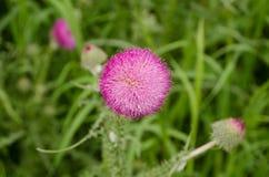 Конец-вверх цветка thistle среди зеленой травы стоковая фотография rf