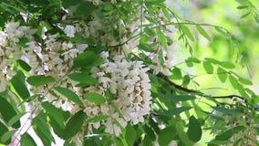 Конец-вверх цветки пчелы опыляя белые сток-видео