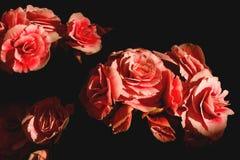 Конец-вверх цветков бегонии Стоковое Изображение