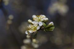 Конец-вверх цветков боярышника весной стоковое фото rf