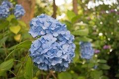 Конец-вверх цветков гортензии Стоковая Фотография