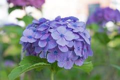 Конец-вверх цветков гортензии Стоковая Фотография RF