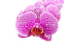 Конец-вверх цветков орхидеи изолированных на белизне Стоковые Фото