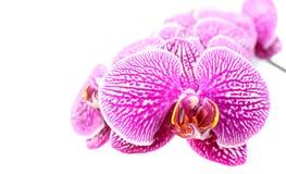 Конец-вверх цветков орхидеи изолированных на белизне Стоковая Фотография RF