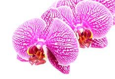 Конец-вверх цветков орхидеи изолированных на белизне Стоковое Фото
