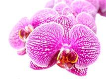 Конец-вверх цветков орхидеи на белизне Стоковые Изображения RF