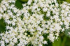 Конец-вверх цветков elderberry Стоковые Изображения