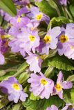 Конец-вверх цветорасположений света весны - фиолетовый цветок o стоковое изображение rf