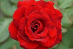 Конец-вверх цветорасположений спирали красной розы стоковые изображения