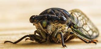 Конец-Вверх цикады стоковые изображения