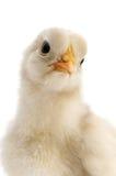 Конец-вверх цыпленка стоковая фотография rf