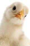 Конец-вверх цыпленка стоковые изображения