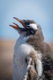 Конец-вверх цыпленока пингвина gentoo на пляже Стоковое Изображение RF