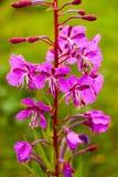 Конец-вверх части Иван-чая цветка как предпосылка стоковые изображения