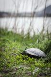 Конец-вверх черепахи в зеленой траве стоковые фото