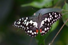 Конец-вверх черноты, красный и белизны запятнал бабочку Стоковое Фото
