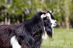 Конец-вверх черно-белой мужской козы самца оленя стержня Стоковое фото RF