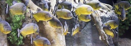 Конец вверх школы Piranha Стоковое Фото