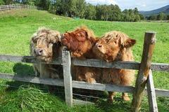 Конец вверх шотландской коровы гористой местности в поле Стоковые Фотографии RF