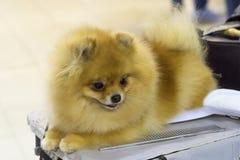 Конец-вверх шпица собаки Стоковая Фотография
