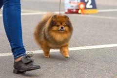 Конец-вверх шпица собаки Стоковое Фото