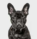 Конец-вверх щенка французского бульдога, изолированный на белизне Стоковые Фотографии RF