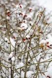 Конец-вверх ягоды плода шиповника на ветви куста с мягкой запачканной предпосылкой стоковые изображения