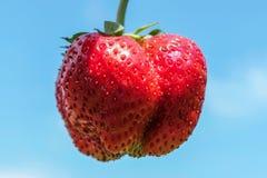 Конец-вверх ягод одного, полезный для здоровья Огромная клубника на голубой предпосылке сбор в лете Стоковые Изображения RF