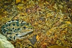 Конец-вверх лягушки леопарда Стоковые Изображения