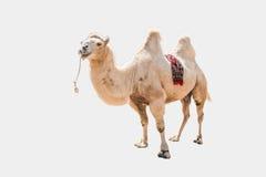 Конец-вверх Bactrian верблюда на белом bactrianus backgroundCamelus Стоковые Изображения
