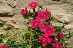 Конец-вверх Barbatus гвоздики, dei Poeti Garofano, цветок гвоздики стоковые фото