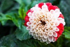 Конец-вверх bicolor белого и красного цветка георгина Стоковые Фото