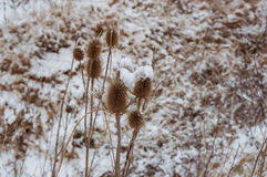 Конец-вверх Burs в зиме Стоковая Фотография