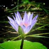 Конец вверх egyption воды пруда inna lilly Стоковая Фотография