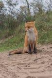 Конец-вверх Fox Стоковое Изображение