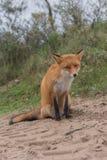 Конец-вверх Fox Стоковые Фотографии RF