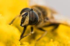 Конец-вверх a hoverfly, syrphidae стоковые фотографии rf