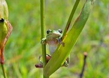 Hyla (жаба дерева) 12 Стоковые Изображения RF