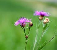 Конец-вверх knapweed Брайна, против зеленых предпосылки & x28; meadow& x29; Стоковые Фотографии RF